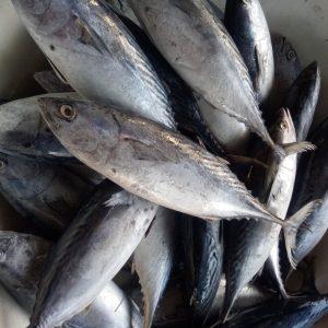 suplier ikan jakarta