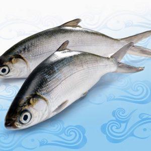 suplier ikan bandeng jakarta
