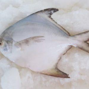 ikan bawal putih segar