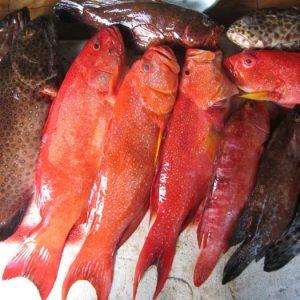 suplier ikan kerapu di jakarta