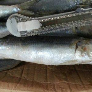 suplier ikan lemuru di jakarta