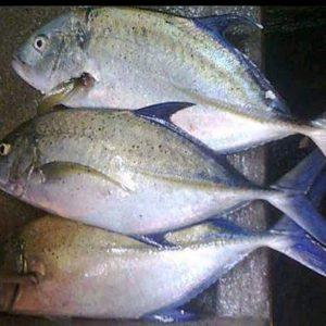 suplier ikan mubara di jakarta
