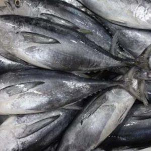 suplier ikan tongkol di jakarta
