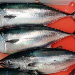 suplier ikan tuna di jakarta